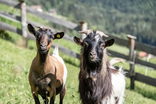 animali-capre